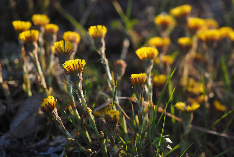 Bộ phận dùng, thu hái, chế biến và cách bảo quản Khoản đông hoa