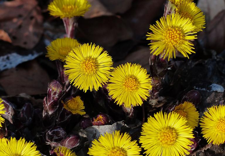 Liều dùng và cách dùng Khoản đông hoa