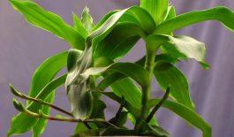 Cây lược vàng có thể dùng tươi trực tiếp để điều trị bệnh trĩ.