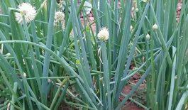 Chữa bệnh vẩy nến bằng hành hoa là phương pháp đơn giản, an toàn