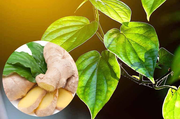 Bài thuốc dùng gừng và lá trầu không trị ho cho trẻ