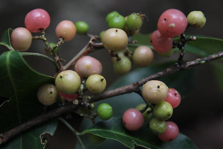 Trong lá và rễ cây Bưởi bung có chứa các thành phần có tính chất dược phẩm nên được bào chế sử dụng trong một số bài thuốc trong Đông y