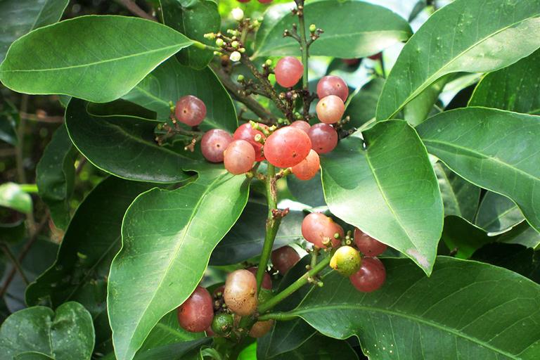 Bưởi bung còn được gọi tên khác là cây Cơm rượu, Cát bối, Bát bài thuộc họ Cam với tên khoa học là Glycosmis Citrifolia (Willd) Lindl
