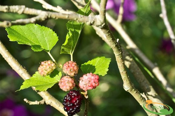 Tìm hiểu cách chữa ho có đờm bằng rễ cây dâu