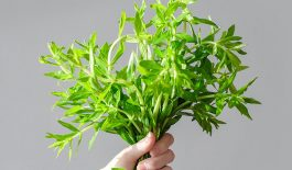 Tìm hiểu về cách dùng rau ngổ chữa ho được dùng phổ biến