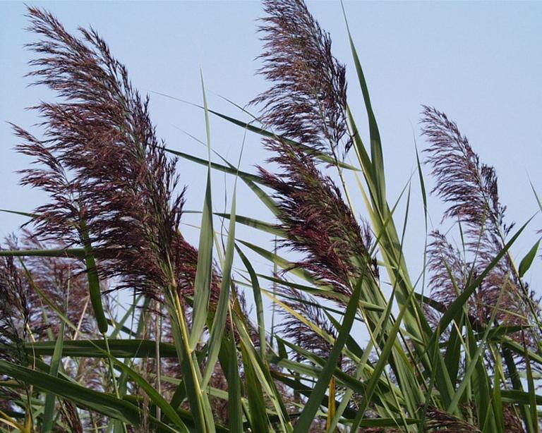 Lô căn là phần thân rễ của cây sậy, thường mọc hoang ở những nơi ẩm ướt hoặc ven bờ sông, suối