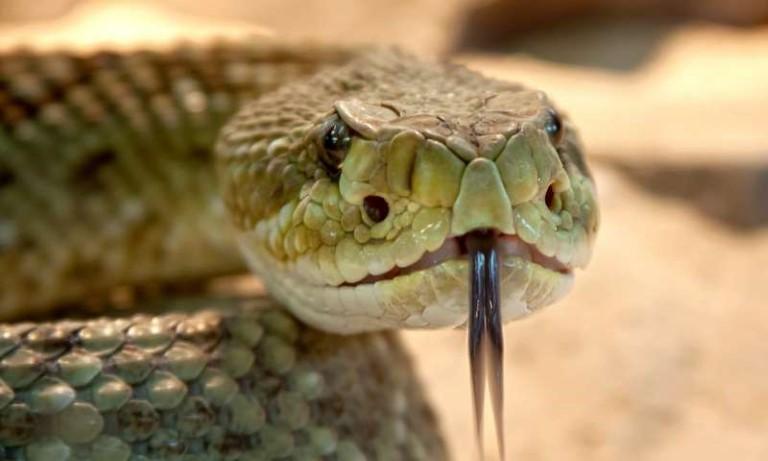 Nọc rắn điều trị phong thấp