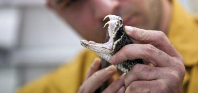 Nọc rắn trị phong thấp