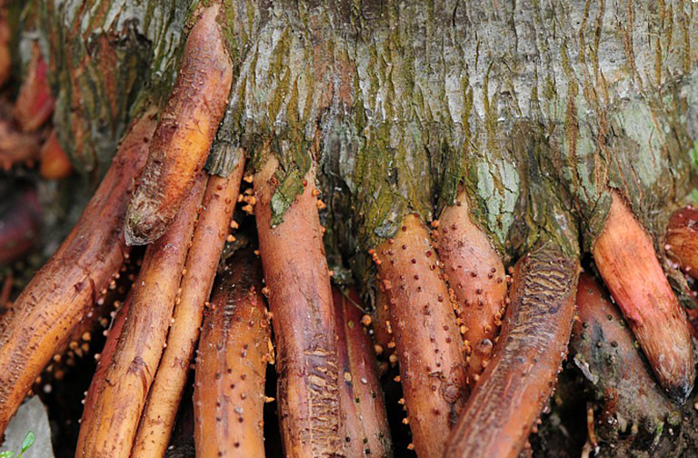 Những điều cần lưu ý khi sử dụng bài thuốc chữa bệnh liệt dương bằng rễ cau