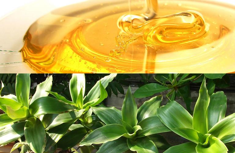 Bài thuốc hấp cách thủy mật ong và lá lược vàng điều trị ho
