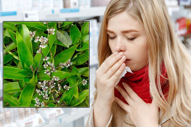 Bài thuốc trị ho bằng cây lược vàng ít ai biết