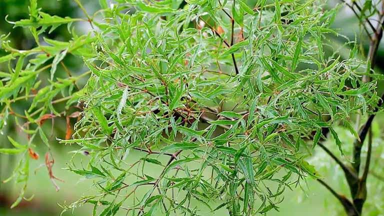 Thông tin về các bài thuốc chữa đau lưng bằng cây đinh lăng