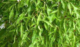 Tìm hiểu công dụng chữa bệnh từ lá cây đinh lăng