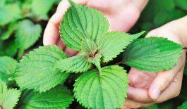 Lá tía tô là một loại dược liệu có khả năng điều trị bệnh đau dạ dày hiệu quả.
