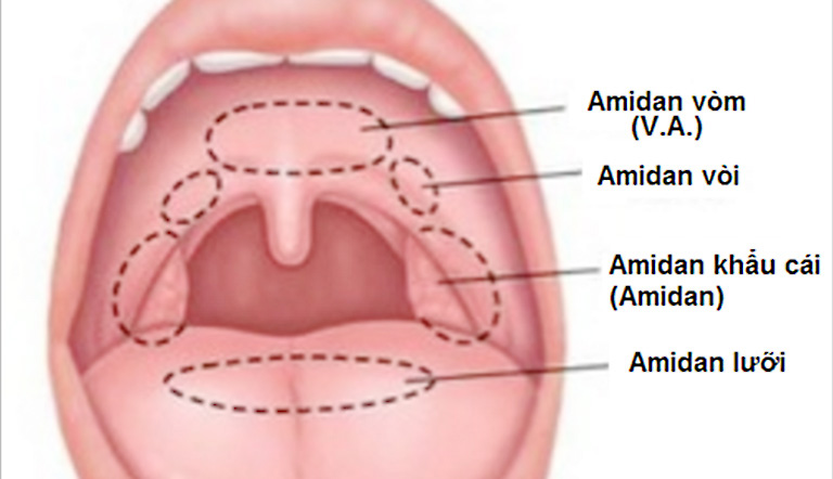 Tìm hiểu về vị trí, vai trò của amidan đối với cơ thể con người