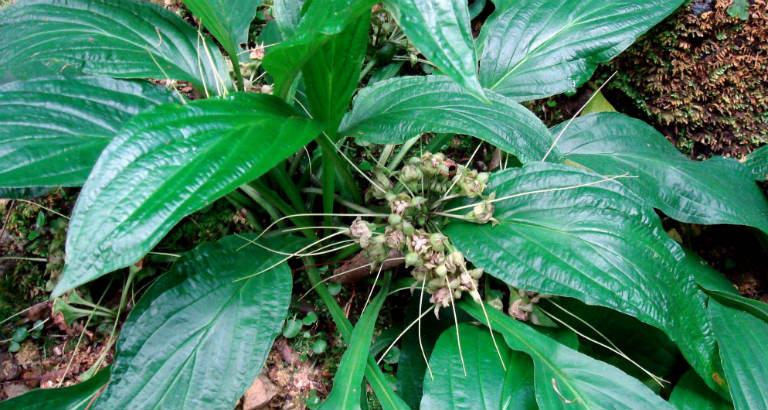 Củ của cây điền thất có nhiều tác dụng dược lý, được dùng để chữa một số bệnh lý rất hiệu quả.