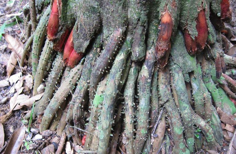 Cách sử dụng rễ cau chữa rối loạn cương dương tại nhà