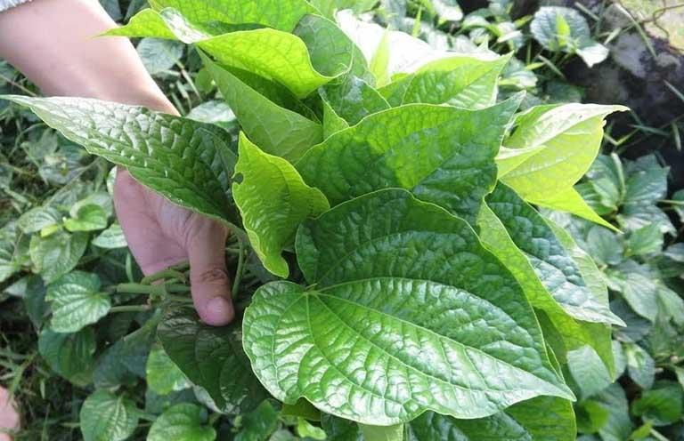 Lá lốt là cây thuốc nam có thể chữa dị ứng thời tiết tạm thời