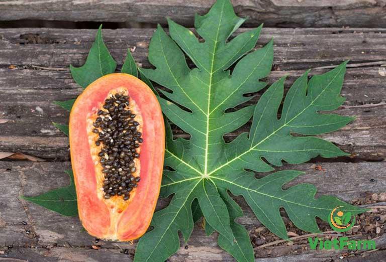 Hoa và lá đu đủ đực chữa được nhiều bệnh