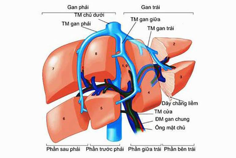 Gan có hai thùy (lobe). Bao gồm thùy trái và thùy phải