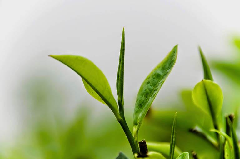 Phòng ngừa và điều trị rụng tóc bằng trà xanh