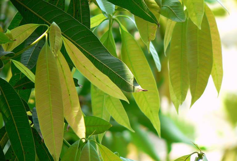 Bài thuốc dùng lá xoài khắc phục bệnh đái tháo đường