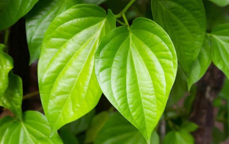 Cách giảm nhẹ bệnh viêm da cơ địa và kiểm soát triệu chứng bằng lá trầu không