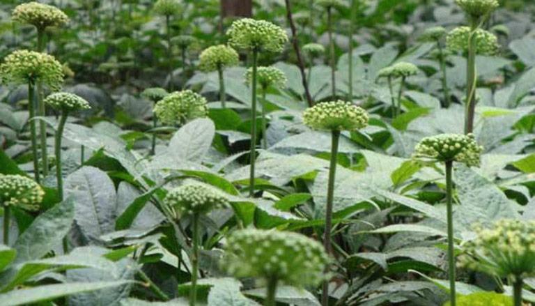 Hoa tam thất nở bung hoa vào tháng 8 hàng năm