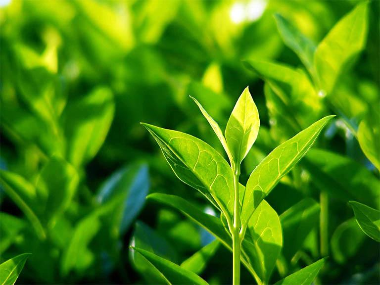 Bài thuốc chữa mề đay kéo dài nhiều ngày không khỏi bằng lá trà xanh chỉ có tác dụng hỗ trợ và không có hiệu quả điều trị dứt điểm