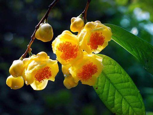 Trà hoa vàng - Thức uống vàng mang lại hiệu quả cho sức khỏe