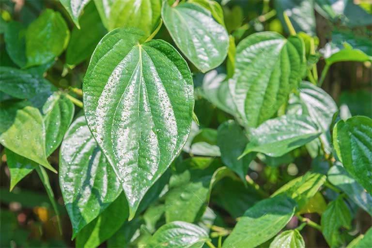 Trị bệnh ghẻ nhờ bài thuốc từ lá trầu không và muối tinh