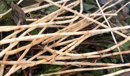 Rễ cỏ tranh chữa bệnh huyết trắng có thật sự hiệu quả?