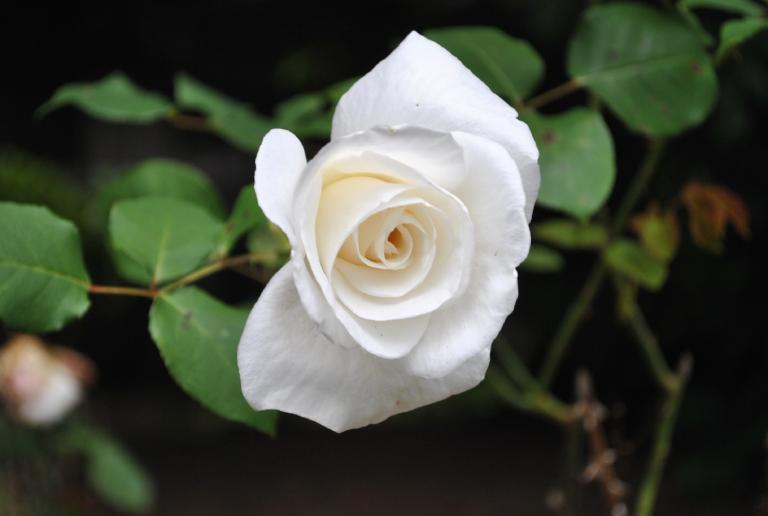 cây hoa hồng trắng trị ho