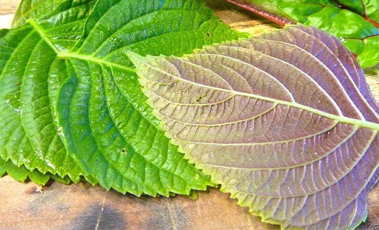 cách chữa viêm amidan bằng thảo dược tía tô