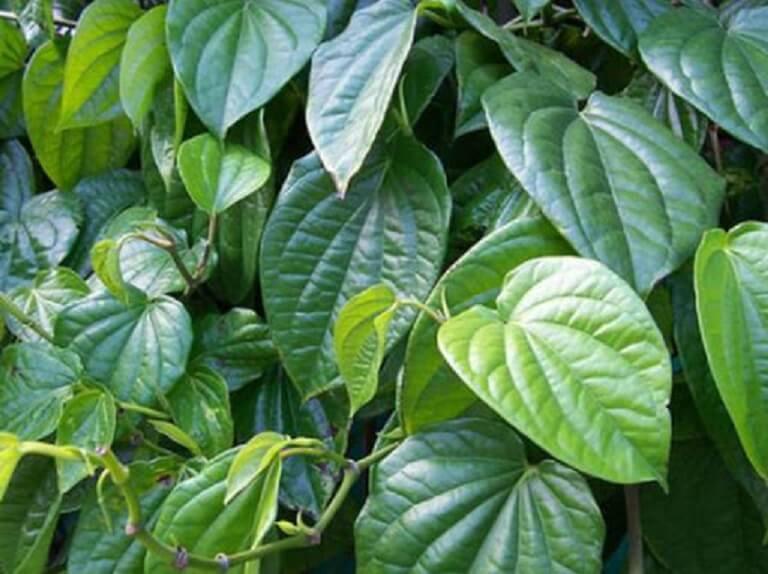 Lá trầu không là thảo dược giúp giảm viêm hiệu quả